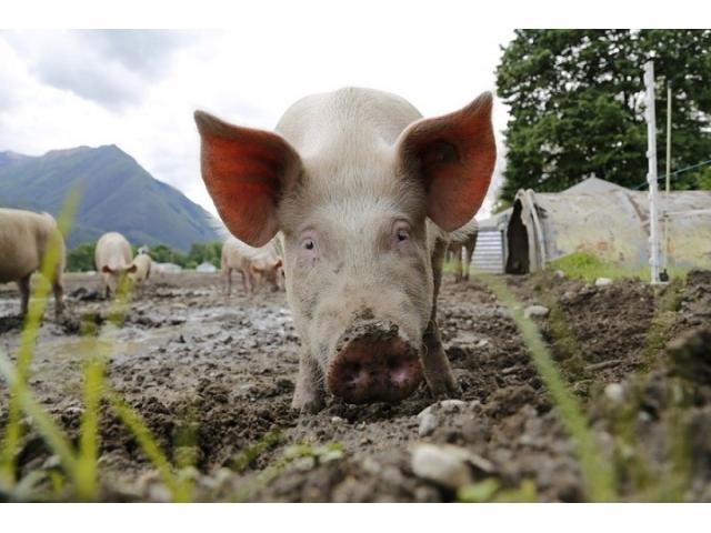 Использование мультиэнзимной добавки для увеличения роста и мясных качеств молодняка свиней,