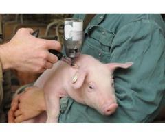 Система неингаляционного наркоза у свиней,