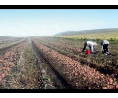 Производство высококачественного семенного картофеля,