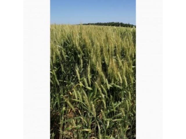 Сорт озимой пшеницы Краса Дона,