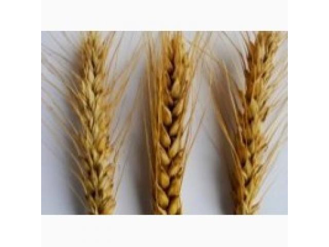 Создание сортов пшеницы с помощью маркер-ориентированной селекции,